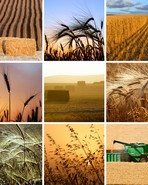 agriculture_harvest-2